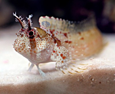 Blennies are also perfect beginner saltwater fish for home aquarium ...
