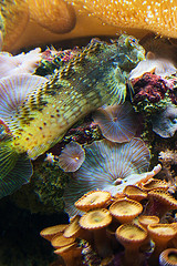 Trials and Tribulations of a Reef Aquarium: Earl, our Lawnmower Blenny