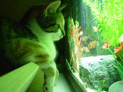 Cat Staring at an Aquarium