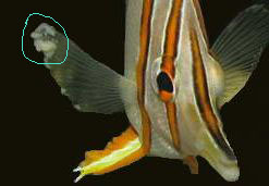 Saltwater Fish Diseases And Treatments Saltwater