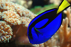 Powder Blue Tang/Surgeon Fish