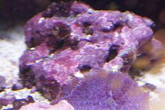 Marine fish tank maintenance red algae 2017 fish tank for Red algae in fish tank
