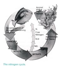 How does nitrogen cycle in saltwater aquarium works nitrogen cycle diagram ccuart Images