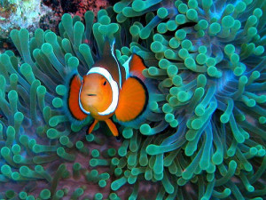 clown fish on anemone