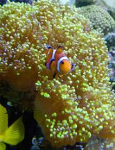 Clown Fish in a Frogspawn
