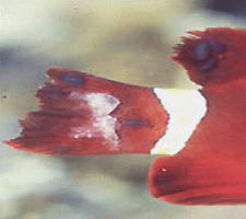 Saltwater Fish Diseases and Treatments - Saltwater ...